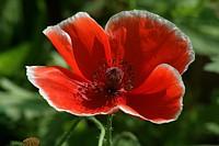 Red poppie